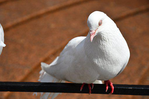 Bird, Pigeon, White, Dove, Animal, Symbol, Nature