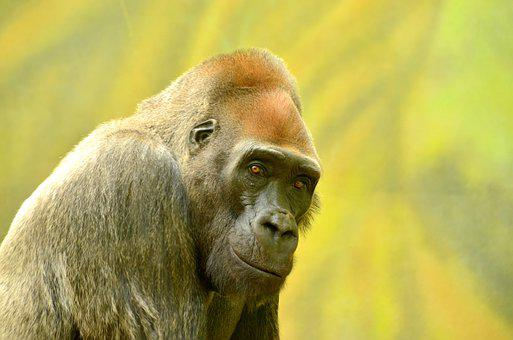Adult, Animal, Ape, Big, Black, Captive, Closeup