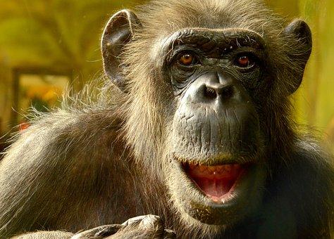 Comic, Chimpansee, Closeup, Animal, Chimp, Wildlife