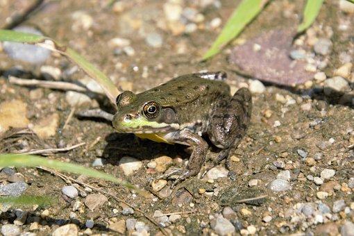 Bullfrog, Frog, Big Shiny Eyes, Closeup, Pretty Green