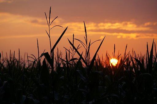 Sunset, Cornfield, Summer, Agriculture, Sky, Corn