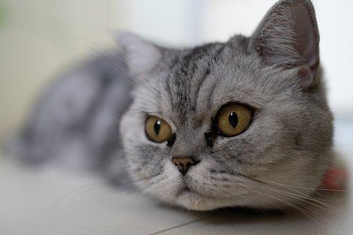 Cat, Animal, Pet, Fur, Eyes, Cute, Adorable, Head