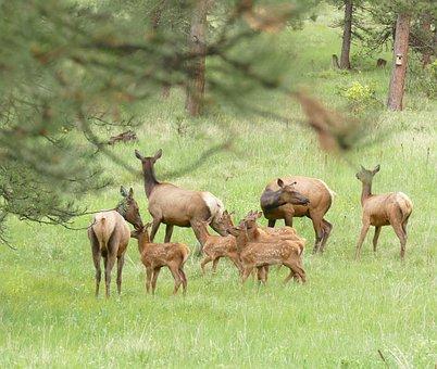 Elk Babysitters, Elk Babies, Baby Elk In Nursery