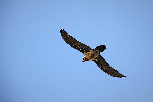 Bearded, Vulture, Endangered, Harrier, Raptor, Bill