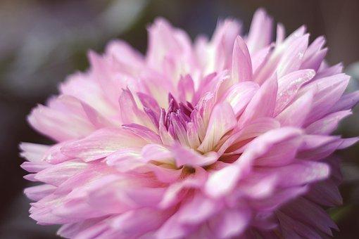 Dahlia, Flower, Blossom, Bloom, Nature, Flora