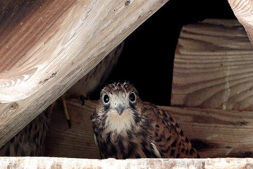 Falcon, Young Hawk, Raptor, Nest, Freilebend