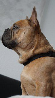 French Bulldog, Dog, Seat, Attention, Portrait