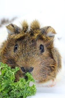 Sea pig, Fur, Close, Furry, Head, Guinea Pig, Nager