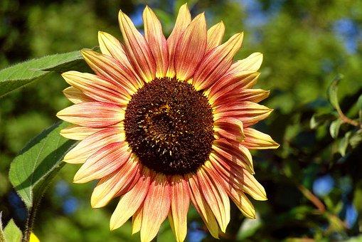 Sunflower, Garden, Flower, Clear, Paint, Yellow - Red