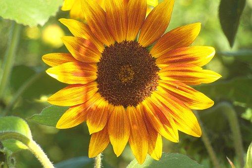 Sunflower, Garden, Flower, Clear, Paint, Sunny, Yellow