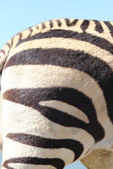 Zebra, Hartmann's, Nature, Animal World, Africa