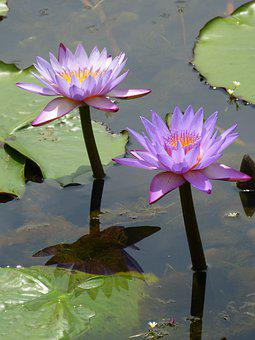 Flower, Vitoria Regia, The Flower In The Water, Lake