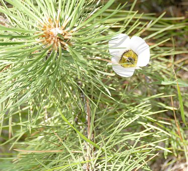 Sego Lily With Pine Sapling, Lily Wildflower