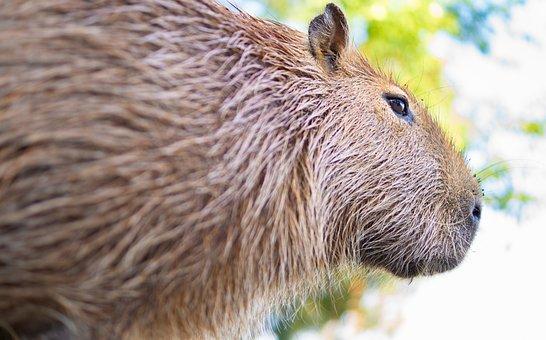Capybara, Rodent, Nager, Mammal, Animal World