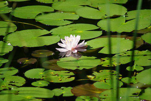 Nature, Pond, Water, Flower, Blossom, Plant, Lily Pad