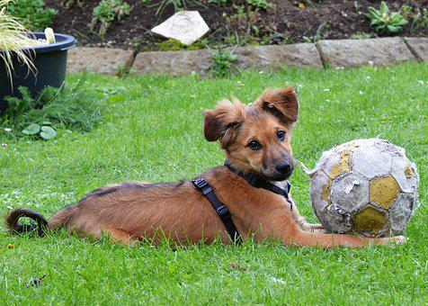 Dog, Puppy, Dog With Ball, Pet, Animal, Cute