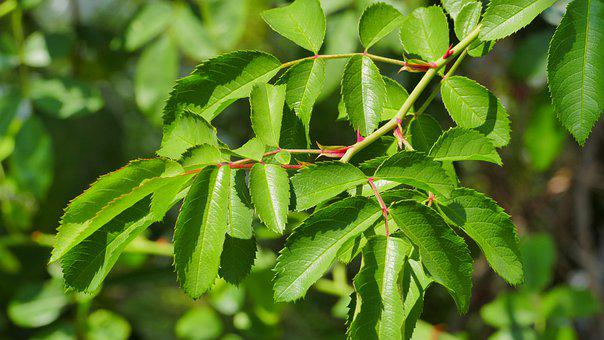 Foliage, Green, Rose, Ecology, Nature, Plant, Leaf