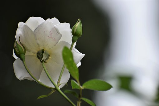 White Roses, Purity Symbol, Blooming, Plant, Romantic