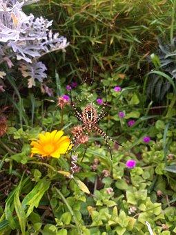 Araignée, Spider, Insect, Toile D'araignée, Cobweb