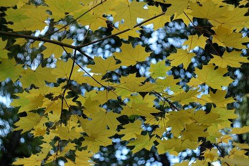 Autumn, Leaves, Maple, Nature, Tree, Colorful, Foliage