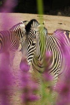 Zebra, Animal, Ungulate, Stripes, Black, White, Safari