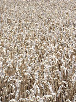 Corn, Field, Agriculture, Barley, Countryside, Crop