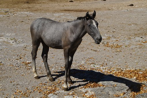 Lipica, Lipizzaner, Foal, Horse, Animal, Young Animal