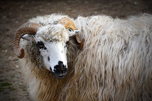 Sheep, Aries, Nature, Animal, Animals, Mammal, Corners