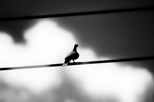 Paloma, Silhouette, Sky, Animals