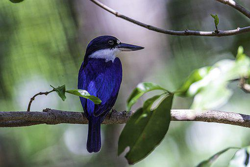 Blue Kingfisher, Birds, Kingfishers, Wildlife