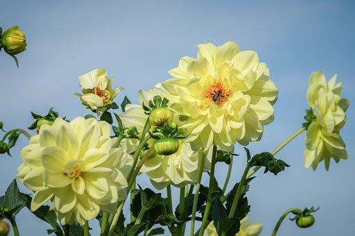 Dahlia, Dahlias, Bloom, Autumn, Plant, Dahlias Bud