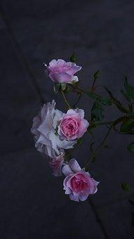 Evening Host, Roses, Pink, Close Up, Romantic, Flora