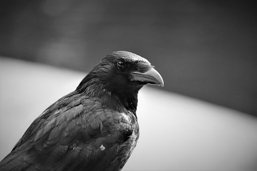 Corneille, Corvidae, Birds, Color Black Anthracite