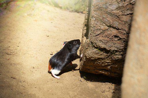 Guinea-pig, Rodent, Cub, Animal, Pet, Mammal, Nature