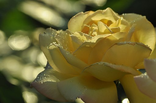 Rose, Yellow, White, Light, Drops, Water, Petals, Macro