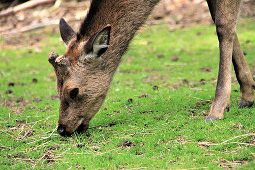 Roe Deer, Public Record, Eat, Wild, Animal, Wilderness