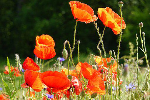 Summer, Flower Meadow, Poppies, Grass, Red, Bud