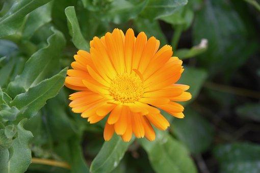 Flower, Flower Petals, Petals Orange Color, Plant