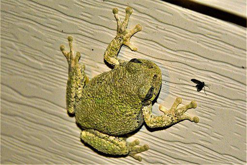 Tree Frog, Suction Pads, Feet, Night Hunting, Fly