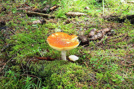 Mushroom, Fly Agaric, Autumn, Forest, Nature, Agaric