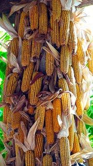 Corn, Corn On The Cob, Harvest, Corn Kernels, Food