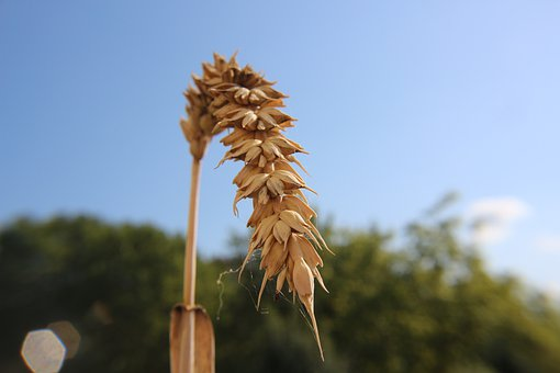 Wheat, Summer, Harvest, Cereals, Grain, Rural, Sky