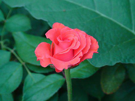 Rose, Red, Green, Flower, Bloom, Blossom, Plant, Love