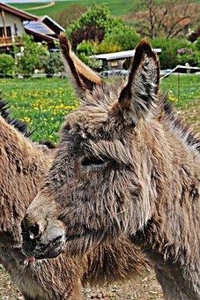 Donkey, Dog Eared, Mane, Beast Of Burden, Farm