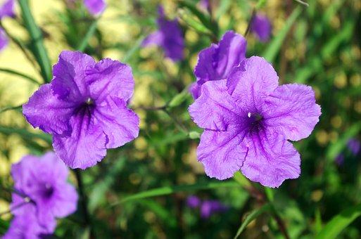 Petunia, Ruellia Simplex, Mexican, Petunia Purple