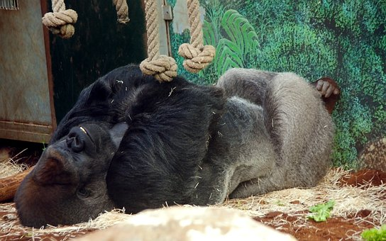 Gorilla, Zoo, Monkey, Mammals, Omnivorous, Primate