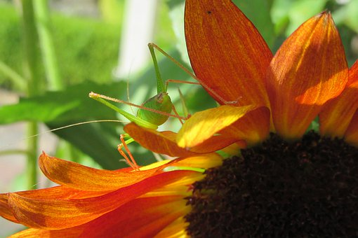 Sunflower, Cricket, Summer, Bug, Nature, Vegetable