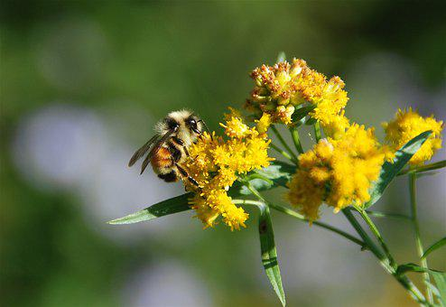 Bee, Flower, Insect, Pollen, Nectar, Bloom, Blooming