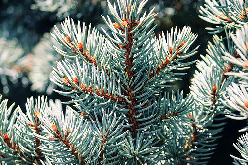 Blue Spruce, Noble Fir, Conifer, Needles, Pine Needles