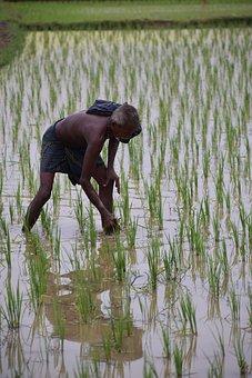 Transplanted, Rice, Odisha